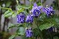 Gewöhnliche Akelei (Aquilegia vulgaris) - Flickr - blumenbiene (5).jpg