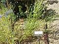 Giardino botanico di Brera (Milan) 305.jpg
