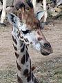 Giraffe nah.JPG