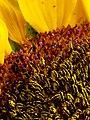 Girasol (Helianthus annuus) - Flickr - Alejandro Bayer (17).jpg