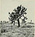 Girolamo Molon - Le yucche, 1914 (page 29 crop).jpg