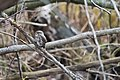 Glaucidium passerinum russia.jpg