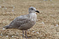 Glaucous-winged gull-First winter.jpg