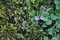 Glechoma hederacea Ground Ivy ოშოშა.JPG