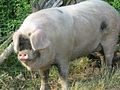 Gloucestershire Old Spot sow 2.jpg