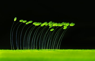 Glowing lacewing eggs.jpg