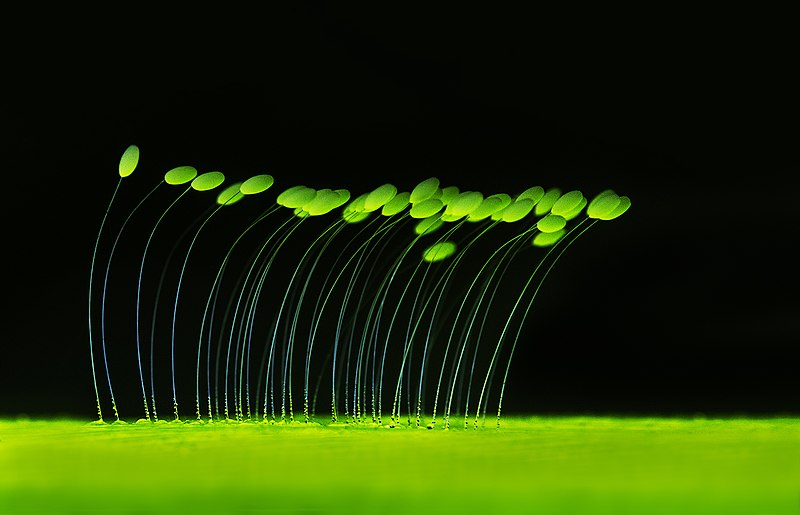File:Glowing lacewing eggs.jpg