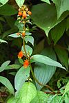 Gloxinia Southern Peru.jpg