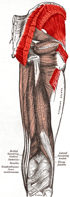 Gluteal muscles - Muscles of the gluteal and posterior femoral regions. Gluteus minimus and the origins and insertions of medius and maximus labeled