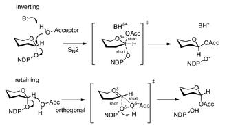 Glycosyltransferase - Image: Glycosyltransferase mechanisms