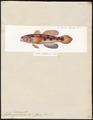 Gobius caninus - 1700-1880 - Print - Iconographia Zoologica - Special Collections University of Amsterdam - UBA01 IZ13600041.tif