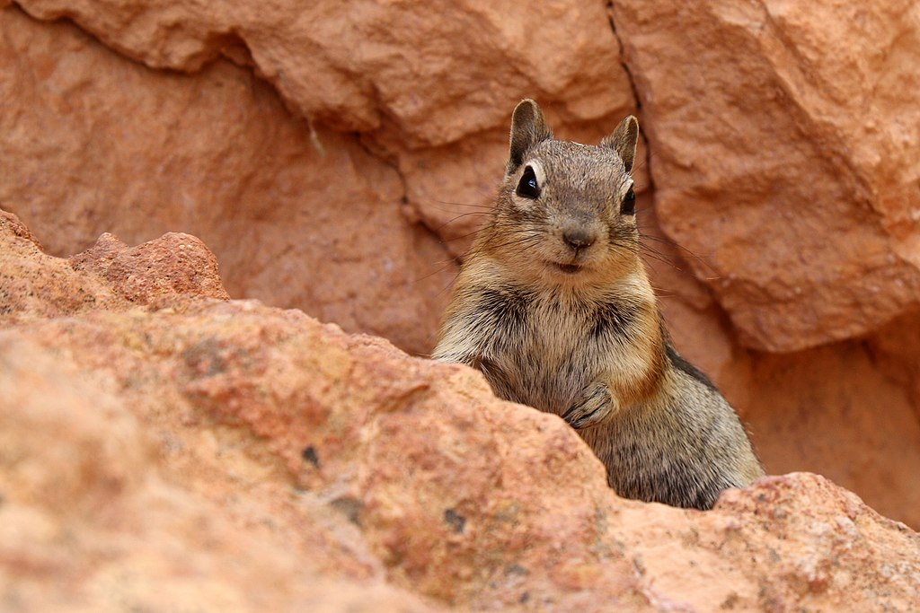 File:Golden-Mantled Ground Squirrel - Bryce Canyon National Park ...