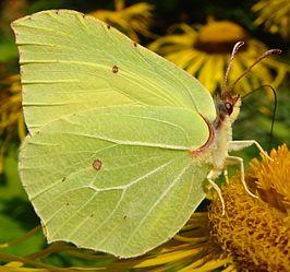 Gonepteryx rhamni imago.JPG