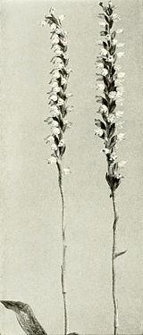 Goodyera pubescens WFNY-f012.jpg