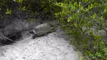 File:Gopher tortoise mating.webm