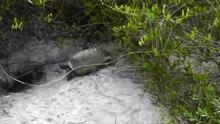 File:Gopher tortoise mating.webm