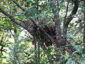 Gorilla nest.jpg