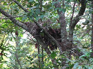 Nest-building in primates - Gorilla night nest.
