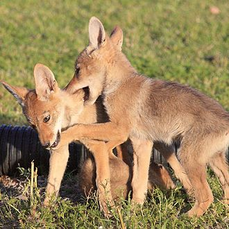 Coyote - Mearns' coyote (C. l. mearnsi) pups playing