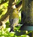 Grönfink European Greenfinch (20324493496).jpg