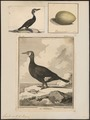 Graculus carbo - 1700-1880 - Print - Iconographia Zoologica - Special Collections University of Amsterdam - UBA01 IZ18000075.tif