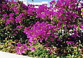 Gran Canaria (Flora) 01.jpg
