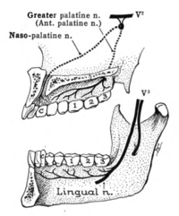 Nerves to separate upper and lower jaws