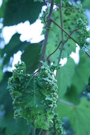 Phylloxera - A grape leaf showing the galls that are formed during a phylloxera infestation.