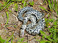 Grass Snake (Natrix natrix helvetica) playing dead (13991854787).jpg
