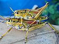 GrasshopperLubber103 Asit.jpg