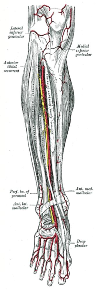 Dorsalis pedis artery - Anterior tibial artery, dorsalis pedis artery and the muscles and bones of the leg (anterior view).