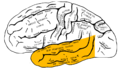 Gray726 temporal lobe.png