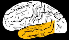 Gray726 temporal lobe.png