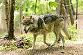 Gray Wolf in Spring (14208643357).jpg