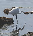 Great Egret, Cabrillo, California (14956303694).jpg