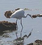 Great Egret, Cabrillo, California (14956303694).jpg