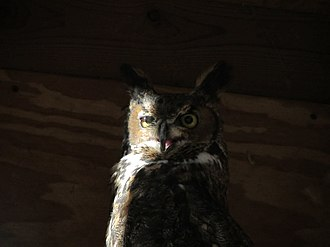 Glencarlyn, Virginia - Great Horned Owl, Long Branch Nature Center