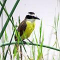 Great Kiskadee (26087295566).jpg