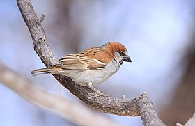 Great Sparrow Passer motitensis at Marakele National Park, South Africa (7796693102).jpg