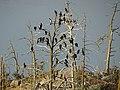 Great cormorants on island near Langholmen 02.jpg