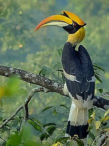 Great hornbill Photograph by Shantanu Kuveskar.jpg