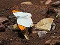 Great orange tip Mudpuddling from Melagiri TN IMG 6462.jpg