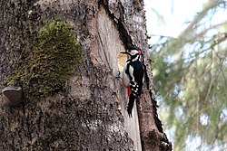 Great spotted woodpecker (Dendrocopos major).jpg