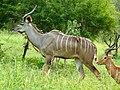 Greater Kudu and Impala males ... (51136956381).jpg