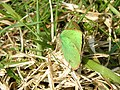 Green Hairstreak - geograph.org.uk - 380223.jpg