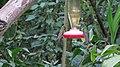 Green Violetear Hummingbirds - Inkaterra Machu Picchu Pueblo Hotel and Nature Reserve - Aguas Calientes, Peru (4876296752).jpg