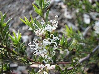 <i>Grevillea alpivaga</i> species of plant