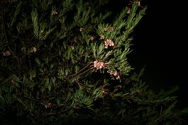 Grevillea iaspicula naturestrip.jpg