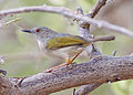Grey-backed Camaroptera (Hobatere).jpg