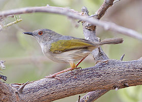 Grey-backed Camaroptera (Hobatere).jpg